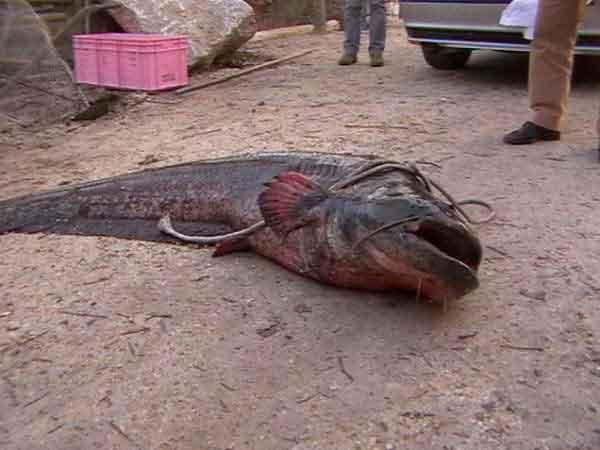 Carp fishing a s d pesca sportiva lago cordovado for Grosso pesce di lago